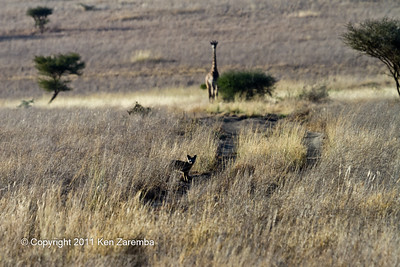 Bat-eared Fox with giraffe in the background