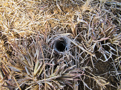 Baboon spider nest at Loisaba airstrip