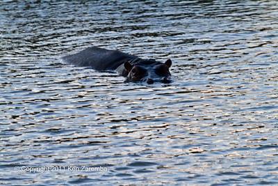 A not so friendly Hippopotamus in its pool on the Ewaso Nyiro river