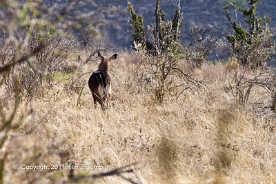 Fleeing Fefassa Waterbuck
