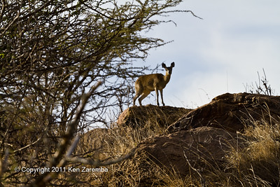 Klipspringer checking us out