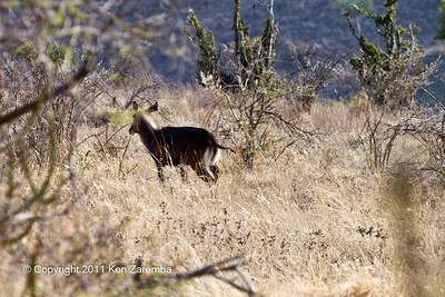 Fleeing Fefassa Waterbuck