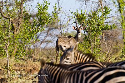 Lesser Kudu & Common Zebra