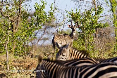 Lesser Kudu & Common Zebra