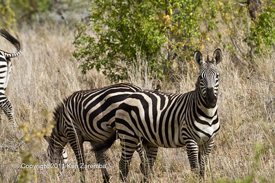 Wattled Starling & Common Zebra