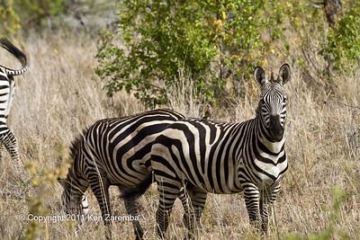 Wattled Starling & Common Zebra