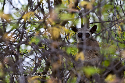 South African Galago, Bushbaby.