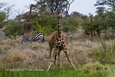 Red-billed Oxpecker, Common Zebra & Reticulated Giraffe