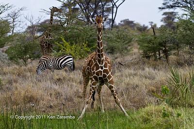 Red-billed Oxpecker, Common Zebra & Reticulated Giraffe