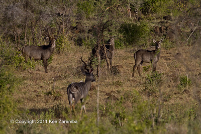 Lesser Kudu & Common Waterbuck