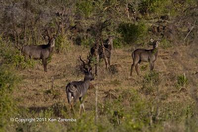 Lesser Kudu & Common Waterbuck