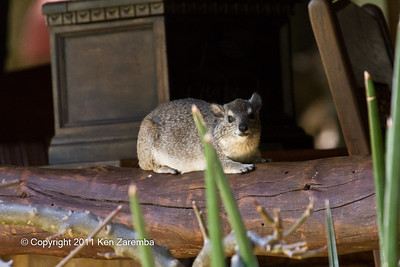 Bush Hyrax lounging in the reception area of the lodge