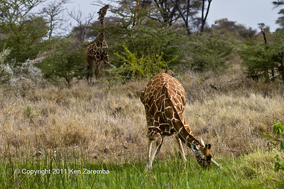 Red-billed Oxpecker & Reticulated Giraffe