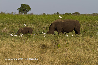 Mother & baby White( Grass) Rhinoceros