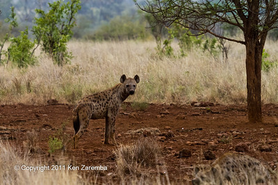 Spotted Hyaena, we disturbed them.