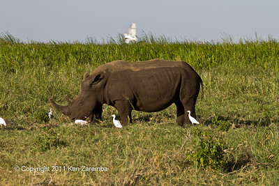 Mother & baby White( Grass) Rhinoceros