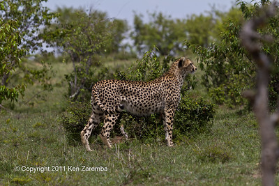Short tailed female Cheetah