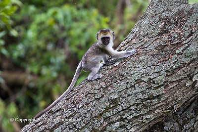 Baby Black-faced Vervet Monkey