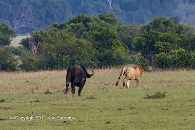 Cape Buffalo chasing male lion.