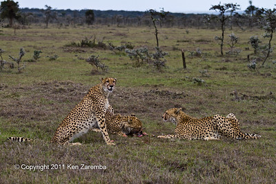 Mother Cheetah and her two cubs after having devoured a baby gazelle looking around for more to eat. We're still hungry!