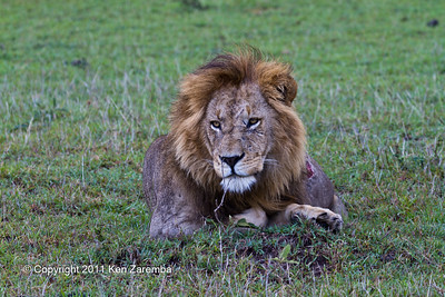 Male Lion with major wound suffered in last night's battles with neighboring pride