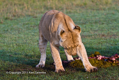 Lioness trying to bury the stomach of the kill