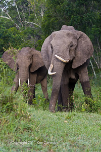 African Bush Elephants, mother and child