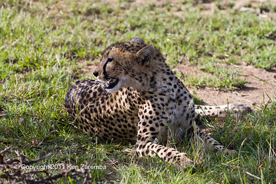 The short tailed Cheetah resting after having feasted on a recent kill