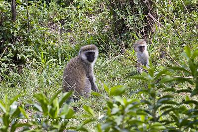 Black-faced Vervet Monkeys