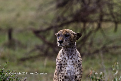 Male Cheetah with the mange or a mangy Cheetah