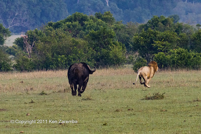 Cape Buffalo chasing male lion.