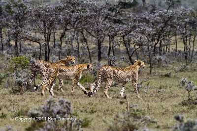 Mother Cheetah and two full grown cubs