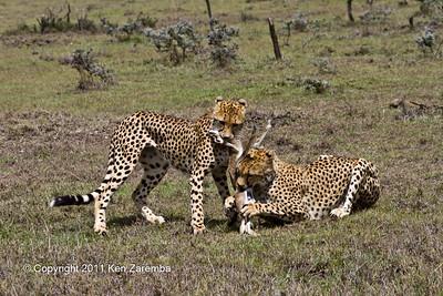 Near grown Cheetah cubs learning to kill a baby gazelle