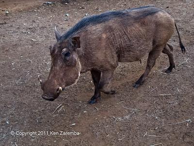 Warthog at the Nairobi Elephant Orphanage