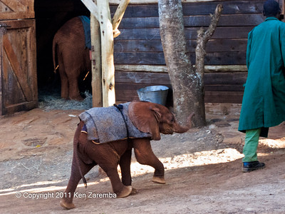 A recent arrival at the Nairobi Elephant Orphanage