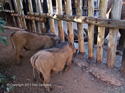 Warthogs at the Nairobi Elephant Orphanage