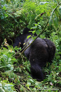 Silverback Agashya of Mountain Gorilla Group-13 slipping into the dense jungle vegetation, Volcanoes Nat. Pk. Rwanda, 1/14/09