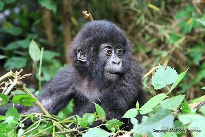 Baby Mountain Gorilla of group Sabyinyo, Volcanoes Nat. Pk. Rwanda, 1/15/09