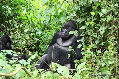 Mountain Gorilla Silverback Guhunda of group Sabyinyo about to make a move, Volcanoes Nat. Pk. Rwanda, 1/15/09