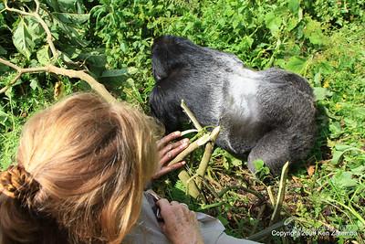 Silverback Agashya of Mountain Gorilla Group-13 going past Susan, Volcanoes Nat. Pk. Rwanda, 1/14/09