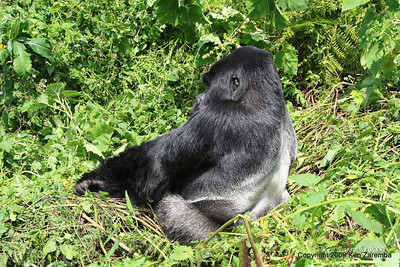 Silerback Agashya of Mountain Gorilla group 13 sits up, Volcanoes Nat. Pk. Rwanda, 1/14/09