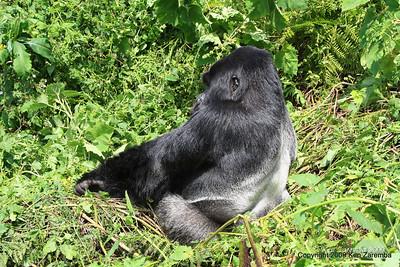 Silerback Agashya of Mountain Gorilla group 13 sits up, Volcanoes Nat. Pk. Rwanda, 1/14/09