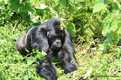 Our first sighting of Agashya, the Silverback of Mountain Gorilla Group-13, Volcanoes Nat. Pk. Rwanda, 1/14/09