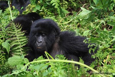 Group-13 Mountain Gorilla family member, Volcanoes Nat. Pk. Rwanda, 1/14/09
