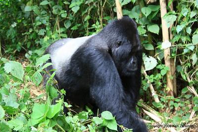 Mountain Gorilla Silverback Guhunda of group Sabyinyo on the move, Volcanoes Nat. Pk. Rwanda, 1/15/09
