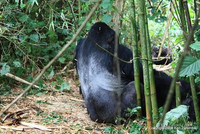 Mountain Gorilla Silverback Guhunda's silverback, Sabyinyo group, Volcanoes Nat. Pk. Rwanda, 1/15/09