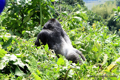 The last we see of Agashya, Silverback of Mountain Gorilla Group-13, Volcanoes Nat. Pk. Rwanda, 1/14/09