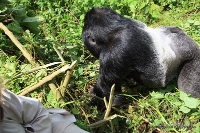 Silverback Agashya of Mountain Gorilla Group-13 two feet away from Susan (he wants her but doesn't want to fight me for her), Volcanoes Nat. Pk. Rwanda, 1/14/09