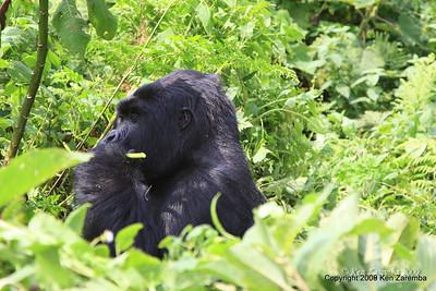 Mountain Gorilla Group-13 member watching the action, Volcanoes Nat. Pk. Rwanda, 1/14/09