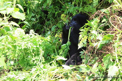 Group-13 Mountain Gorilla family member, Volcanoes Nat. Pk. Rwanda, 1/14/09